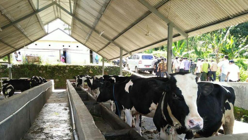 Pakai Musik Sunda, Cara Peternak di Bogor Tingkatkan Produksi Susu Sapi