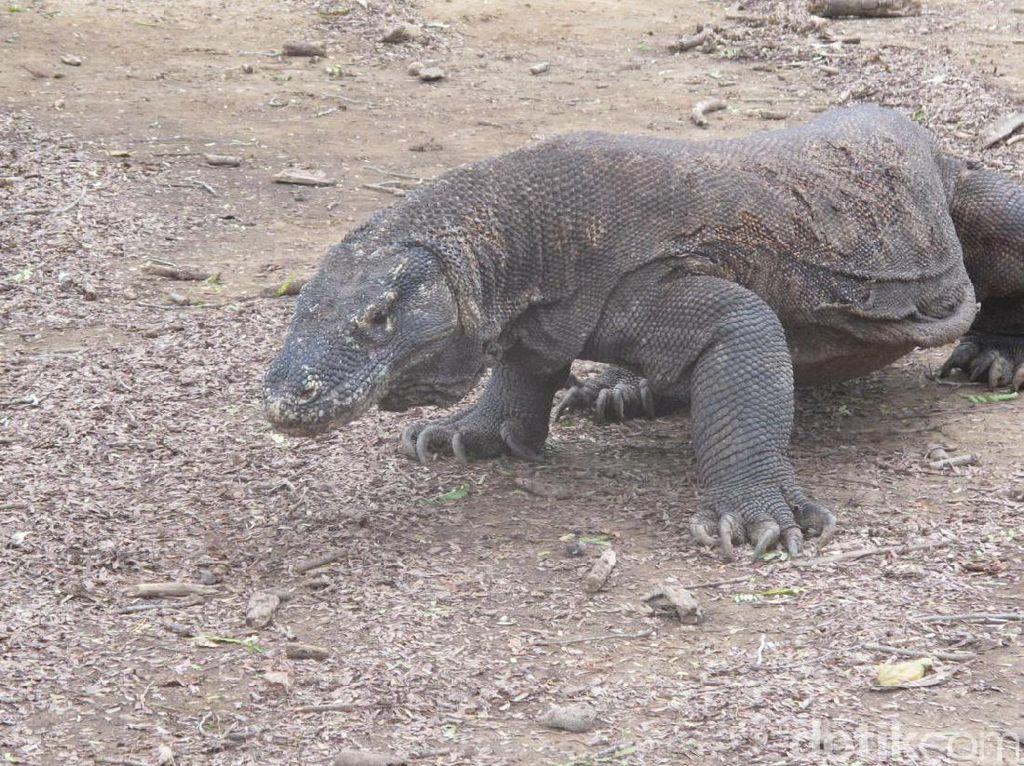 Wacana Tiket Rp 14 Juta Pulau Komodo Bidik Turis Tajir, tapi...