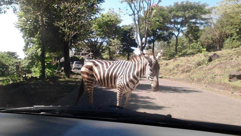 Awas, Ada Zebra Cross Sungguhan!