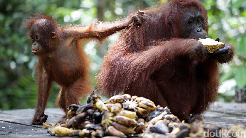 Cerita Orangutan yang Mau Kabur dari Kebun Binatang di Inggris