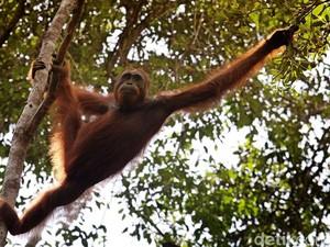 Mengenal Karakter Unik Orangutan, Primata Endemik Nusantara
