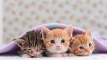 Makanan Kucing Mewah Ini Berisi Kaviar, Lobster dan Quinoa