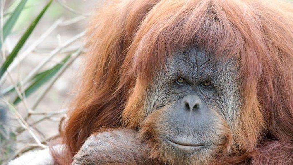 Orangutan di Adelaide Ini Hamil Meski Gunakan Alat Kontrasepsi