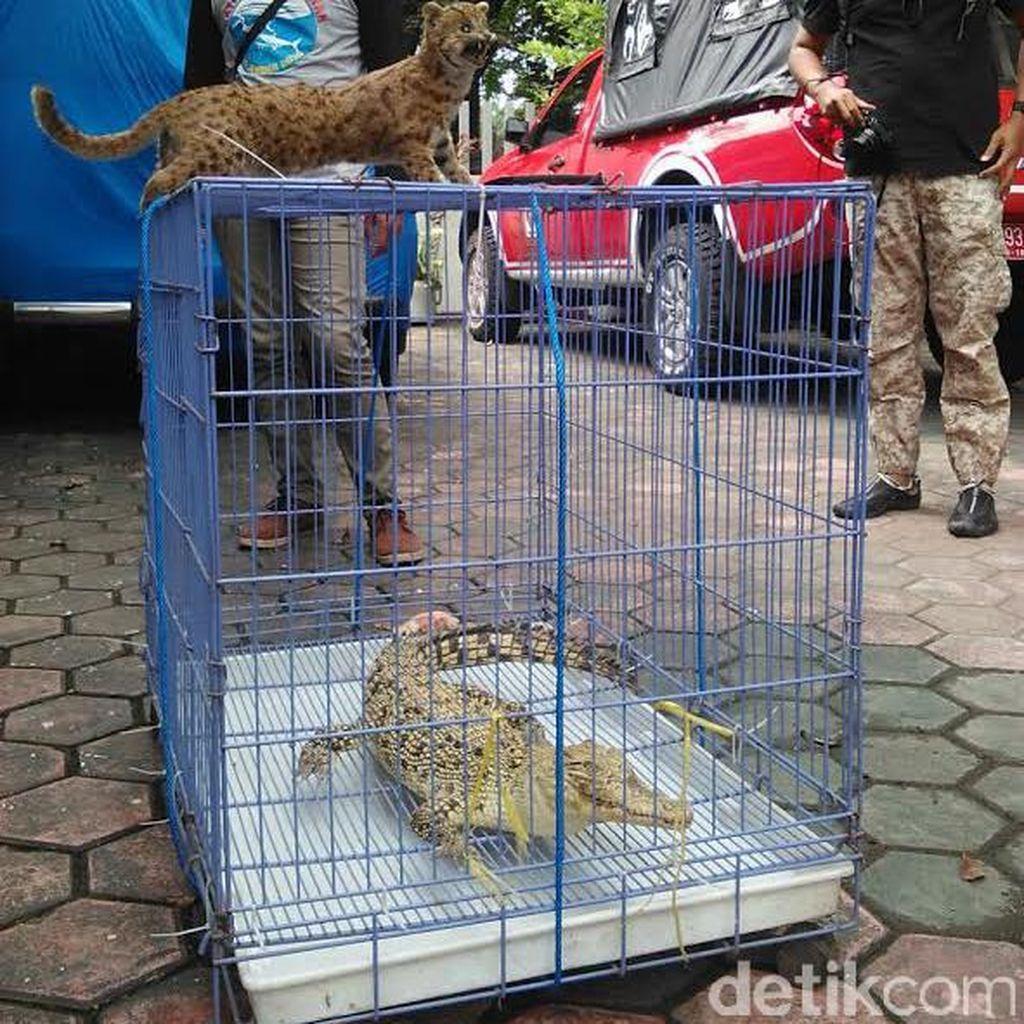 BKSDA Jember Amankan Buaya dan Kucing Hutan