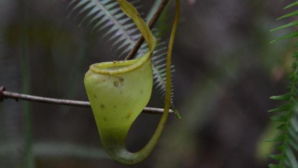 Berburu Nepenthes di Lereng Gunung Rorekatimbu, Poso