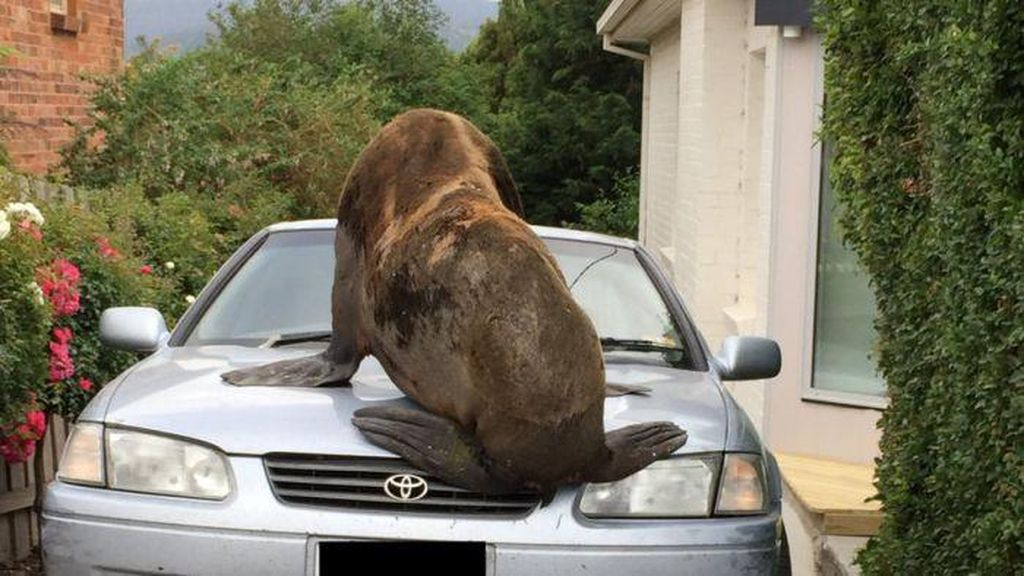 Anjing Laut di Tasmania Ini Sering Berurusan dengan Pihak Berwajib