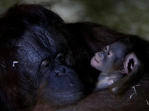 Kebun Binatang Ceko Tambah Koleksi Bayi Orang Utan