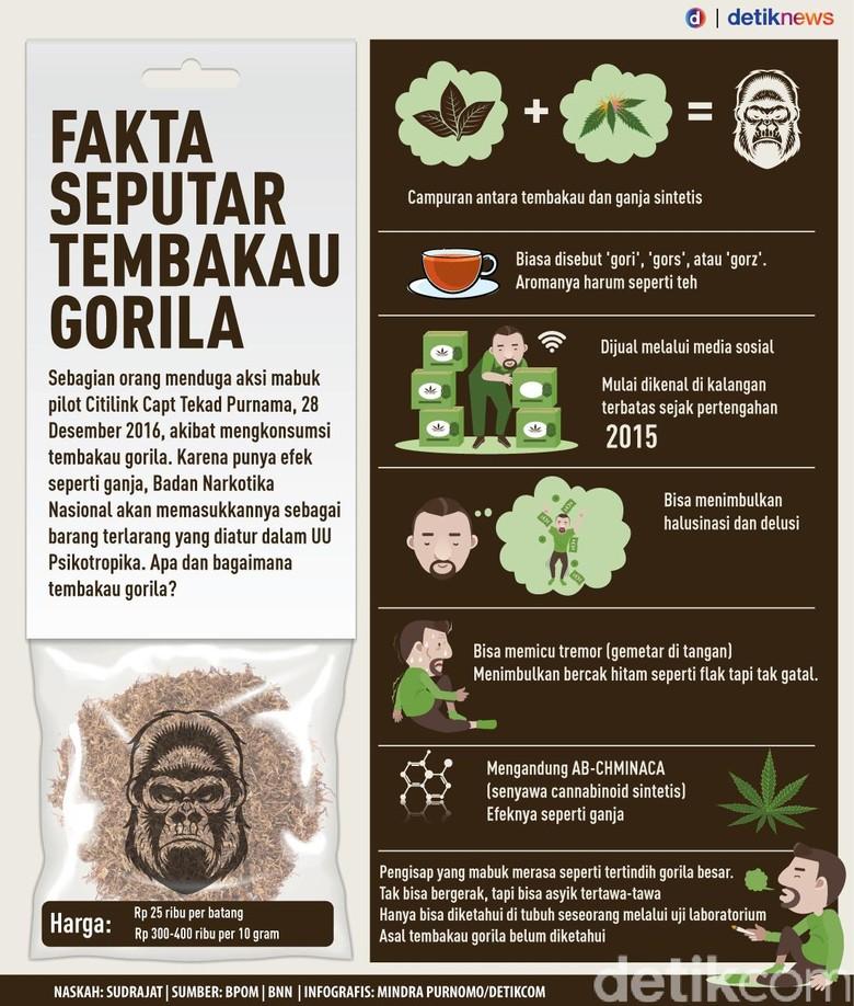 Infografis: Fakta Seputar Tembakau Gorila