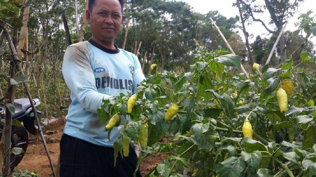 Harga Cabai Naik, Petani Purwakarta Raup Untung Berlipat