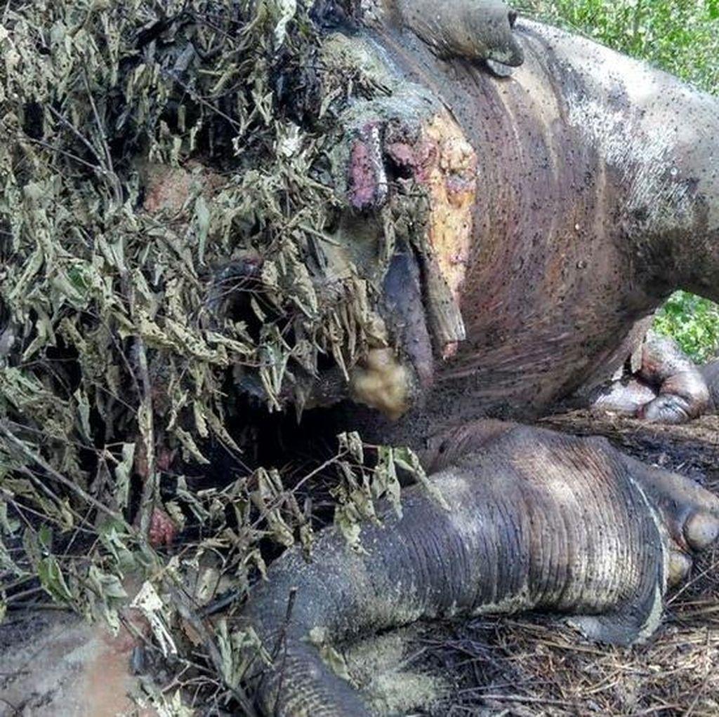 Gajah Jantan Tewas di Kebun Sawit Aceh
