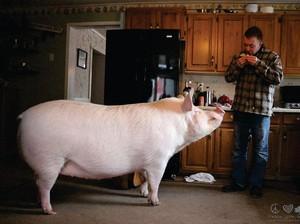 Ini Esther, Babi Betina Berbobot 300 Kg dengan 1 Juta Followers