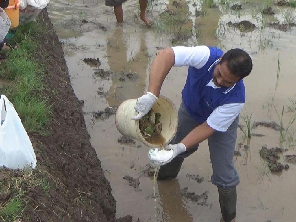 Petani di Jombang Basmi Tikus Pakai Popok Bayi