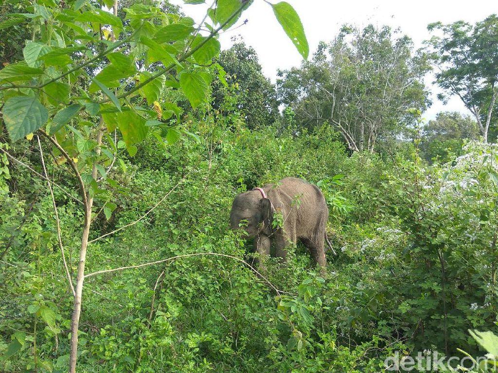 6 Gajah Kerdil Kalimantan Ditemukan Mati di Malaysia