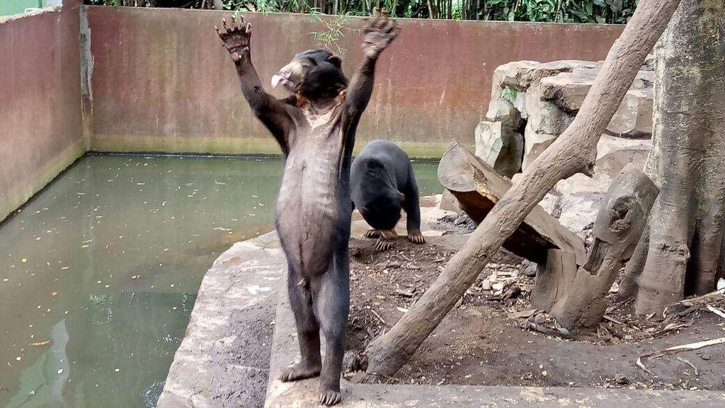 Duh, Beruang Kurus di Kebun Binatang Bandung Jadi Perhatian Dunia