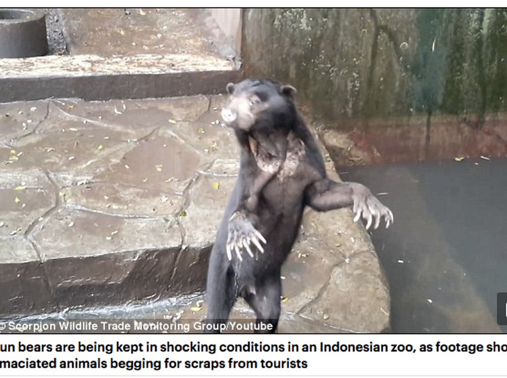 Beruang Kurus dan Kelaparandi Bonbin Bandung Jadi Sorotan Dunia