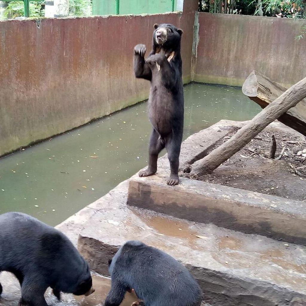 Bonbin Bandung: Beruang Sehat, Kurus Bukan Berarti Sakit