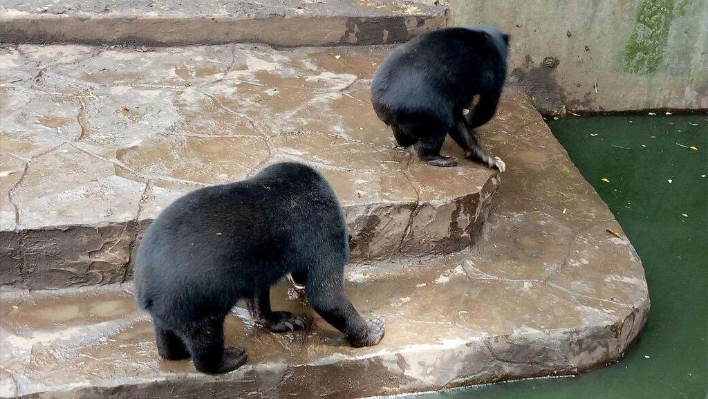 Begini Seharusnya Cara Merawat Beruang di Kebun Binatang