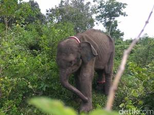 PLG Aceh Besar Rawat Anak Gajah Liar yang Alami Gizi Buruk