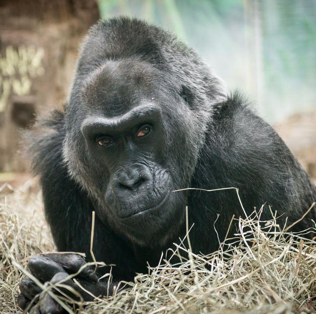 Gorila Tertua di Kebun Binatang AS Mati pada Usia 60 Tahun