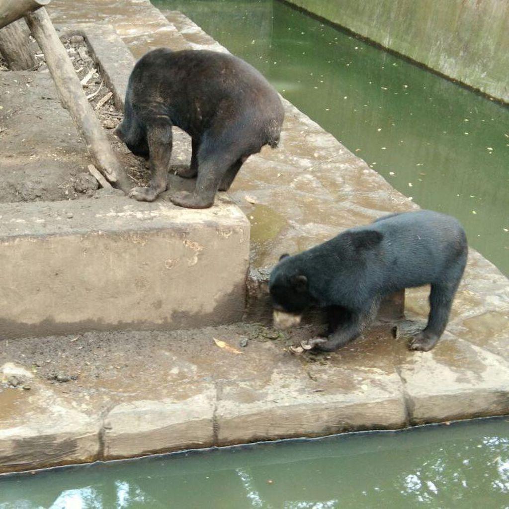 Melihat Kondisi Miris Beruang di Bonbin Bandung yang Mendunia