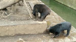 Beruang Kurus di Bonbin Bandung Makan Kotoran Sendiri