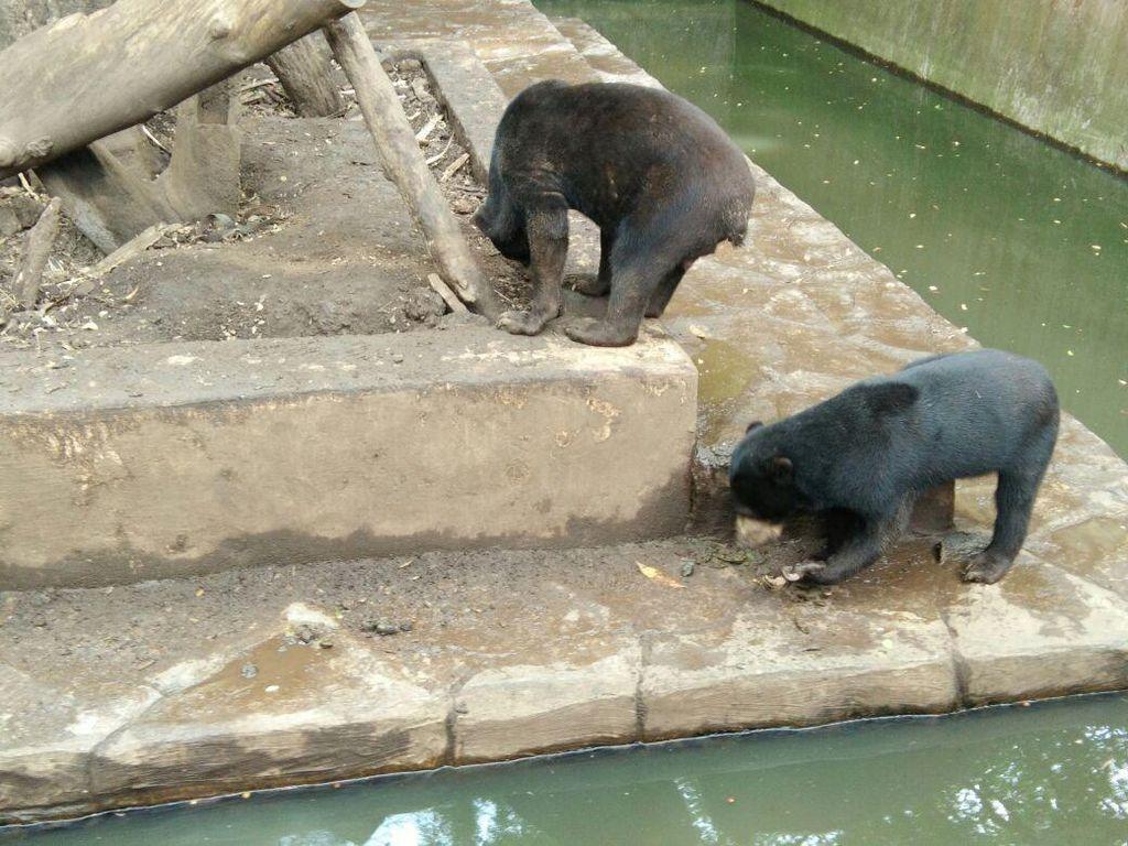 Menteri Siti akan Cek Langsung Beruang Kurus di Bonbin Bandung