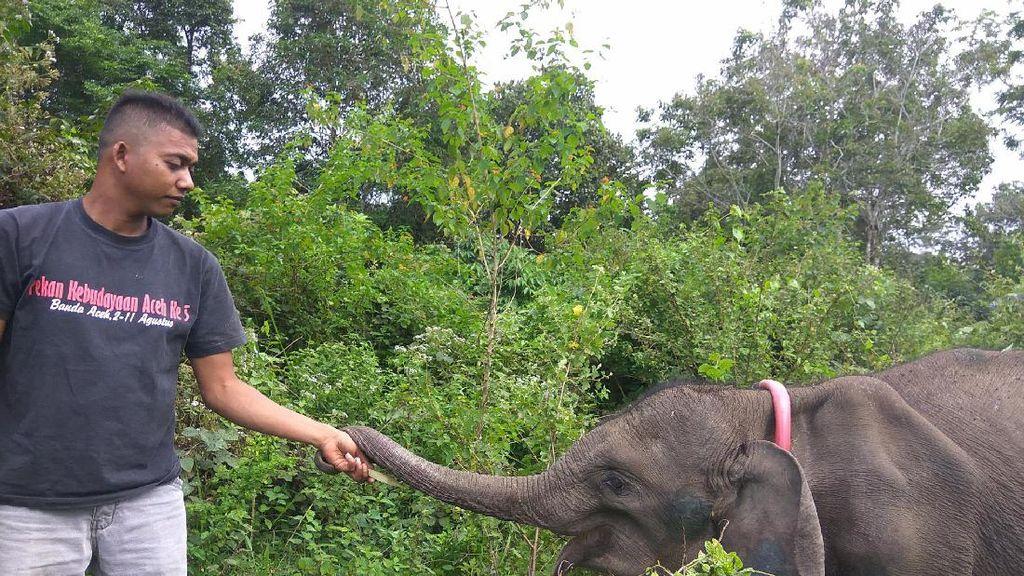Cerita Jamal 20 Tahun Merawat dan Melatih Gajah Liar untuk Pengusiran