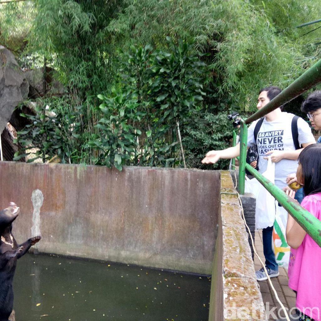 Pengunjung Masih Lempari Makanan ke Beruang Kurus Bonbin Bandung