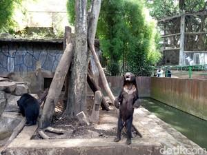 Beruang Madu Kurus di Bonbin Bandung Bernama Kardit, Umur 20 Tahun