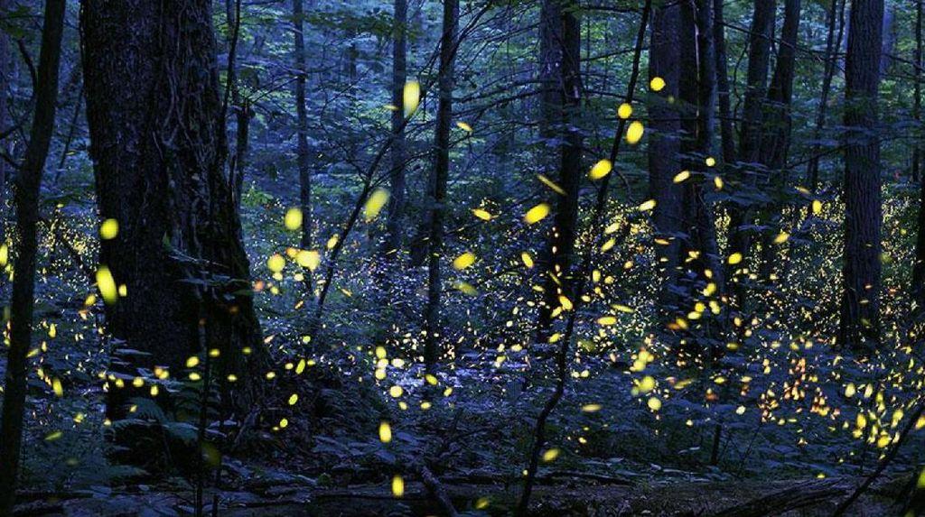 Indah, Pertunjukan Kunang-kunang di Taman Nasional AS