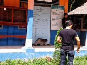 Monyet Liar Serang SD di Sukabumi, Kepsek dan Pemotor Terluka