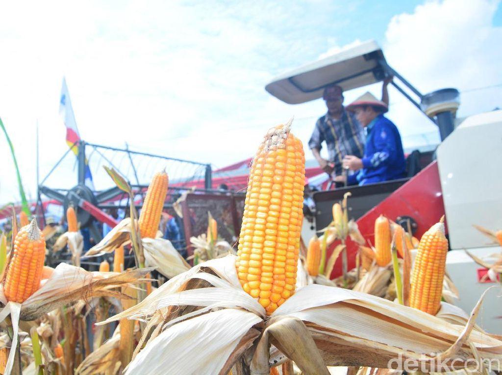Diprediksi Capai 9,3 Juta Ton, Produksi Jagung RI Surplus