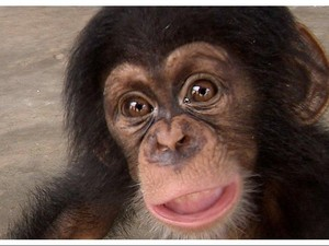 Nyamar Pembeli dari DKI, BBC Bongkar Penyelundupan Bayi Simpanse