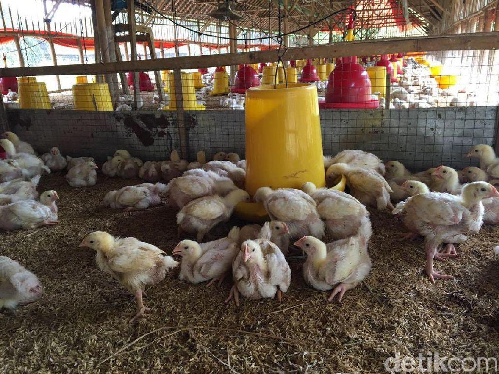 Peternak Sebut Harga Ayam Anjlok Karena Operasi Pasar