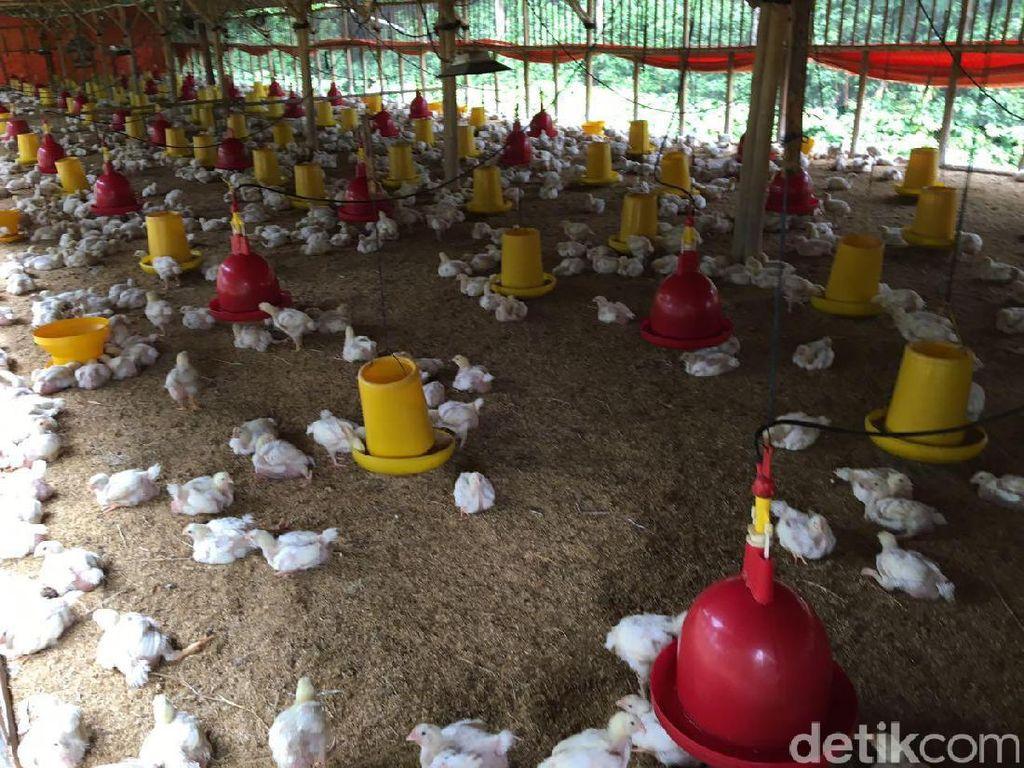 Apa yang Bikin Harga Ayam Anjlok? Ini Jawaban Kementan