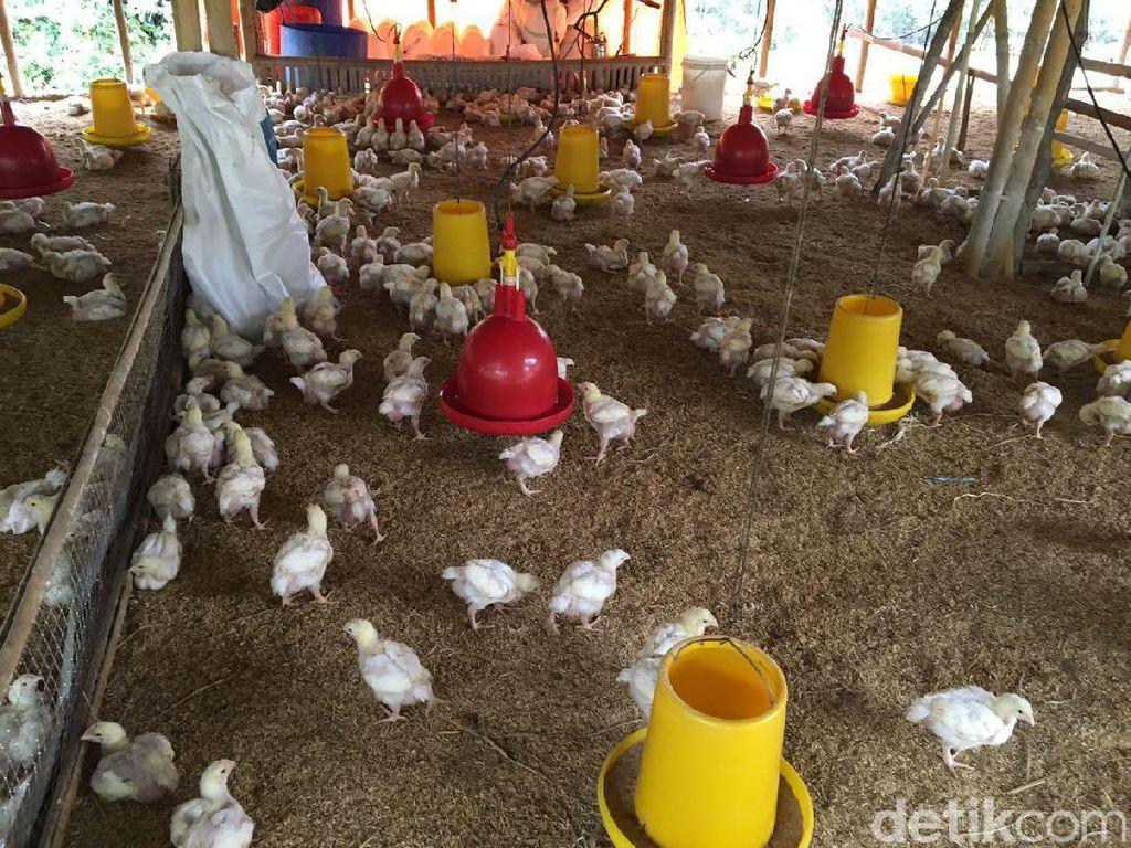 Harga Ayam Anjlok, Peternak Minta Ini ke Pemerintah