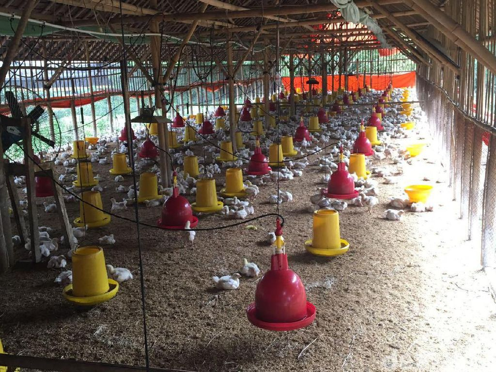 Harga Ayam Hidup di Jateng dan Jatim Rp 14.000/kg, Peternak Happy?