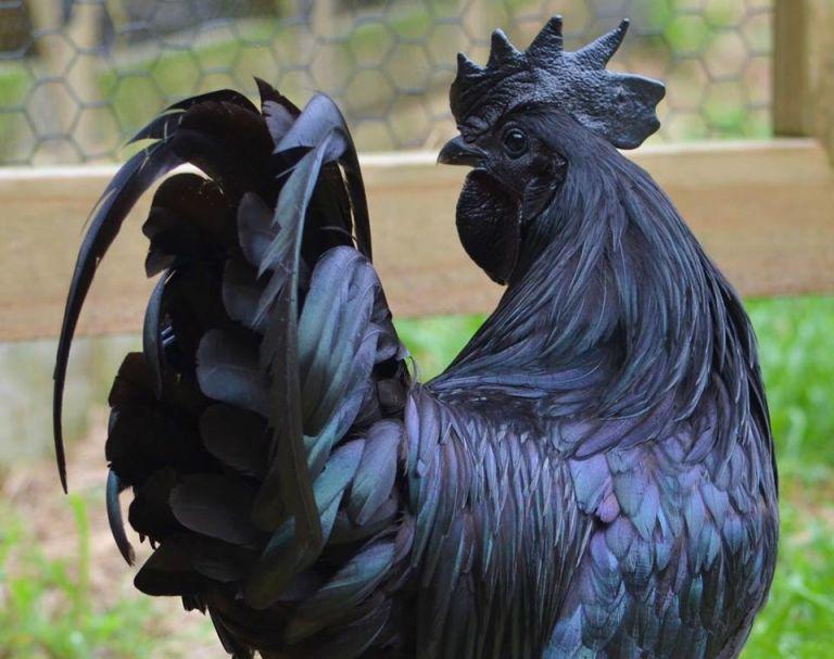 ayam hitam 'lamborghini' dari Indonesia