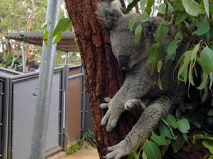 Ketemu Darwin, Si Tukang Tidur dari Australia