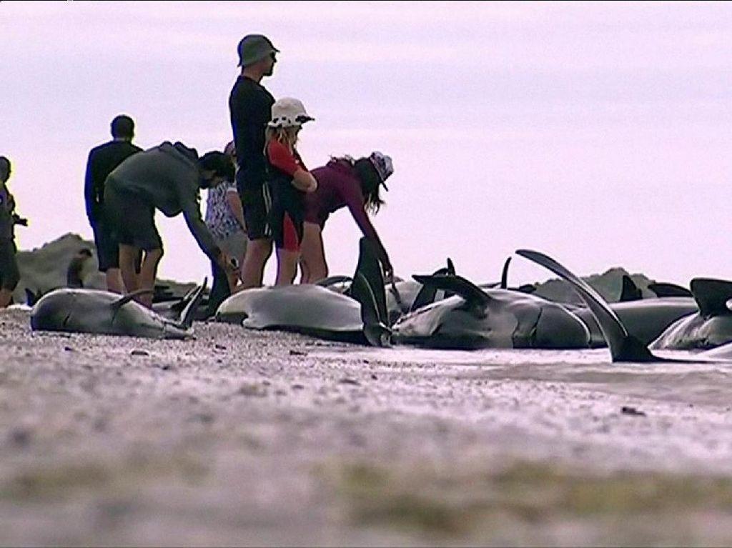 Kasihan, Puluhan Paus Terdampar di Teluk Selandia Baru