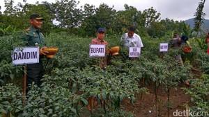 Petani Akui Harga Jual Cabai Ditentukan Pengepul