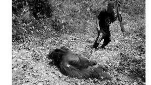 Cara COP Dokumentasikan Pemutilasi Orangutan