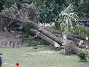 Mengapa Pohon-pohon di Singapura Bertumbangan?