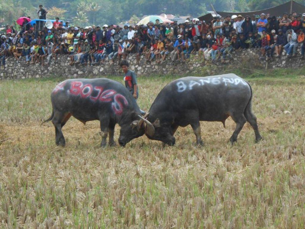 Meriahnya Tradisi Tedong Silaga, Pesta Kematian di Mamasa
