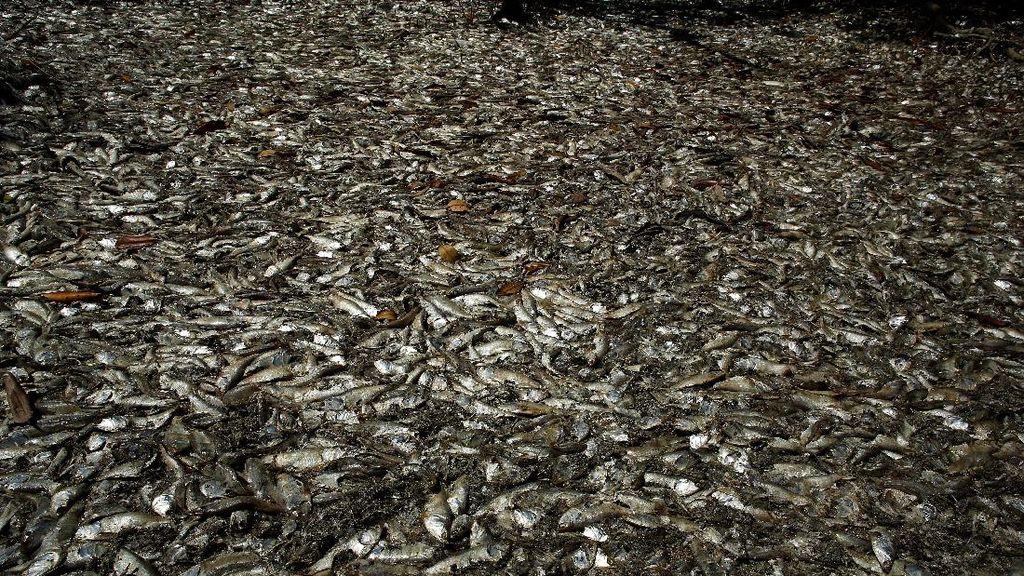 Misteri Ribuan Ikan Mati di Pantai Kosta Rika