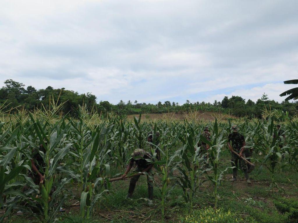 Program Emas Hijau Tingkatkan Hasil Pertanian Masyarakat Maluku