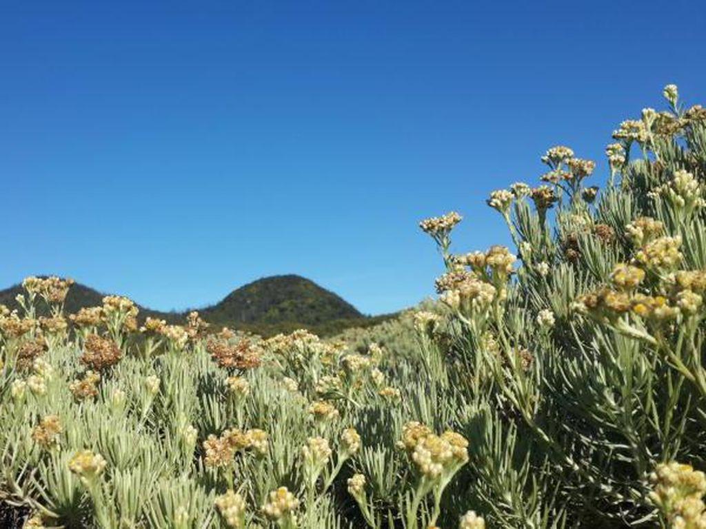 Indahnya Padang Edelweiss di Gunung Papandayan