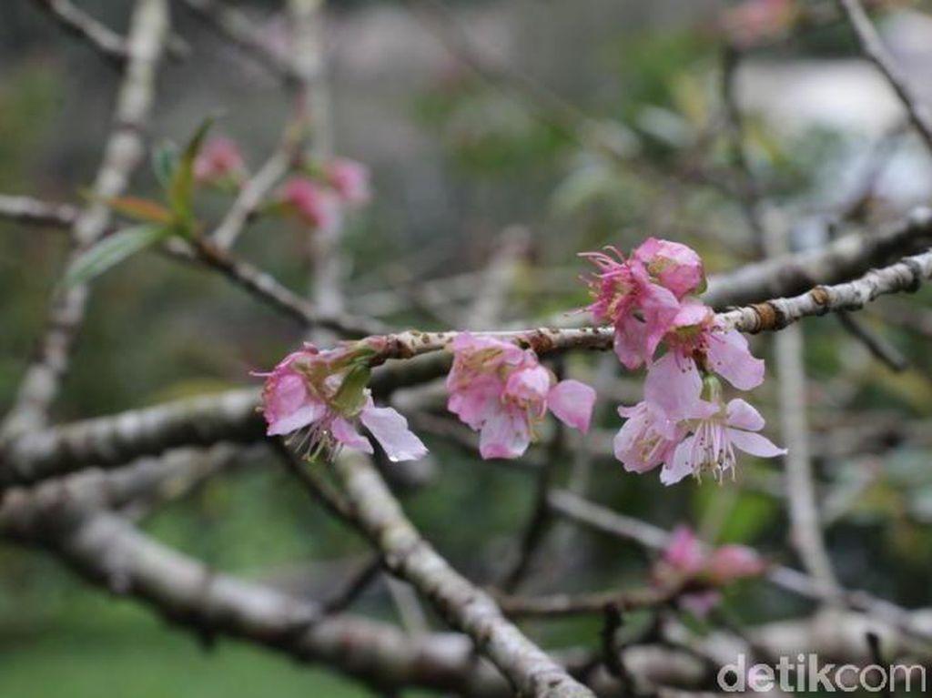 Nggak Usah ke Jepang, 2 Tempat di Indonesia Ini Punya Bunga Sakura
