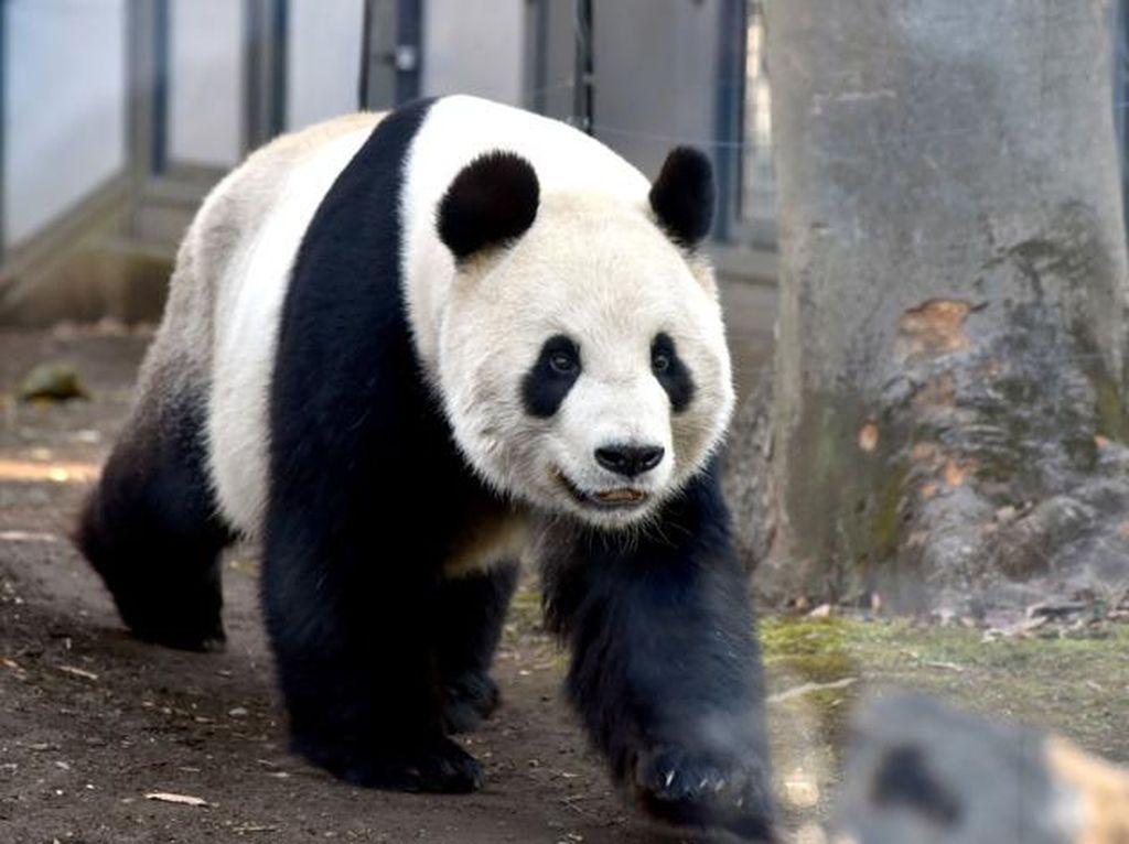 Awalnya Asyik Bermain, Panda Kembar Ini Lantas Berduel
