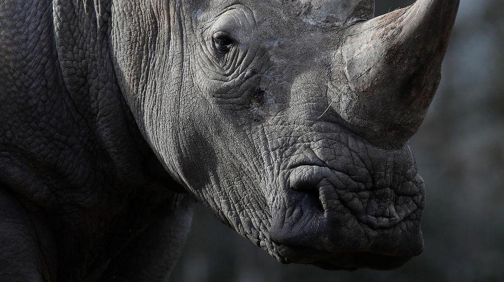Penyusup Gergaji Cula Badak di Kebun Binatang Perancis